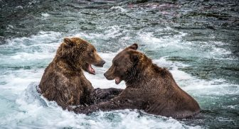 Bear Viewing